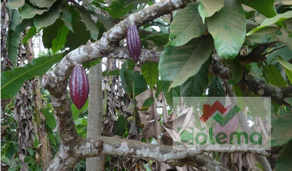 PRO23 Roça de 47 ha – plantation de cacao – Madalena