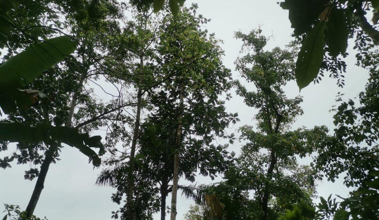 TER101 Plantação de cacau de 8 hectares na zona de Santo António 014