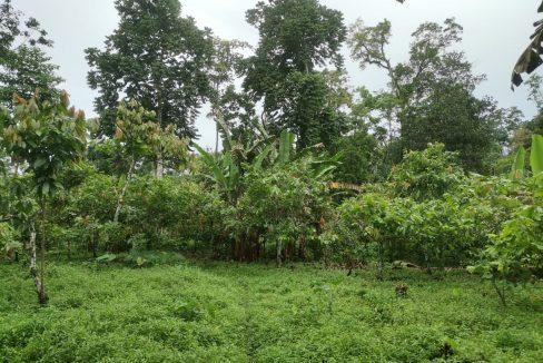 TER101 Plantação de cacau de 8 hectares na zona de Santo António 020