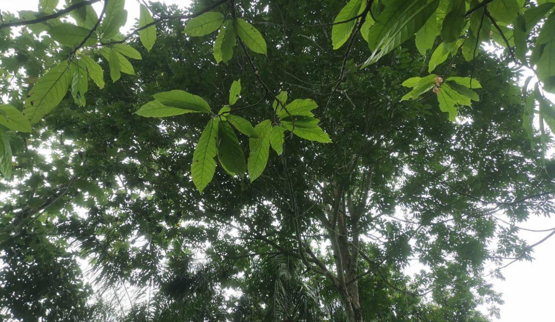 TER101 Plantação de cacau de 8 hectares na zona de Santo António 024